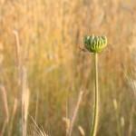 campo di grano ANT