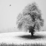 albero a Mas ANT